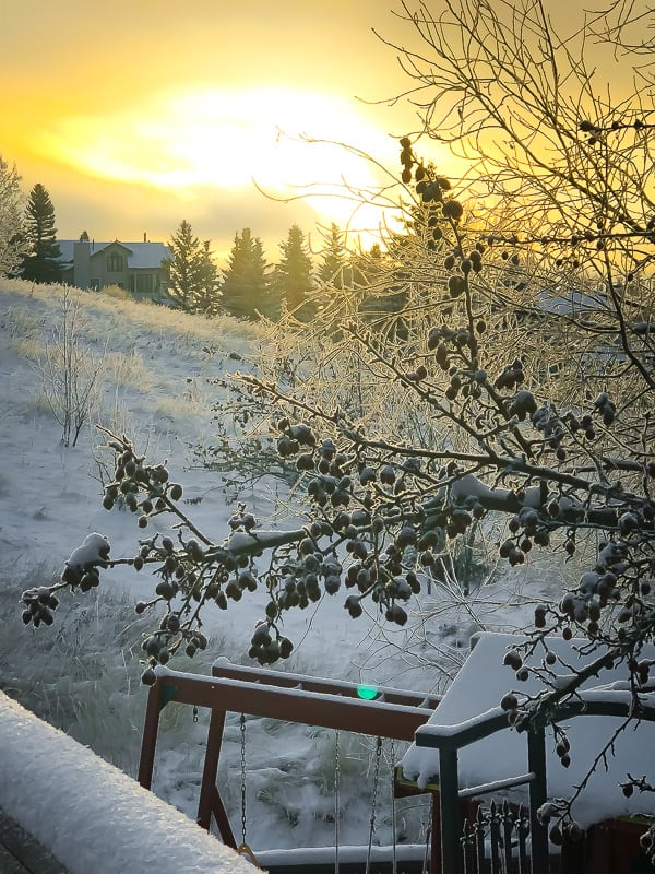 sun rising with snowy branches in foreground